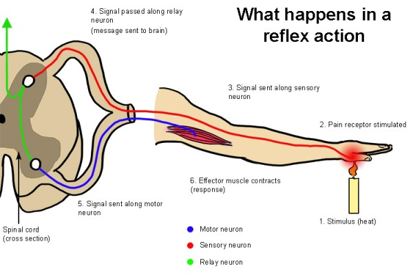 What happens in a reflex action